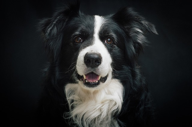 Border Collie Portriat