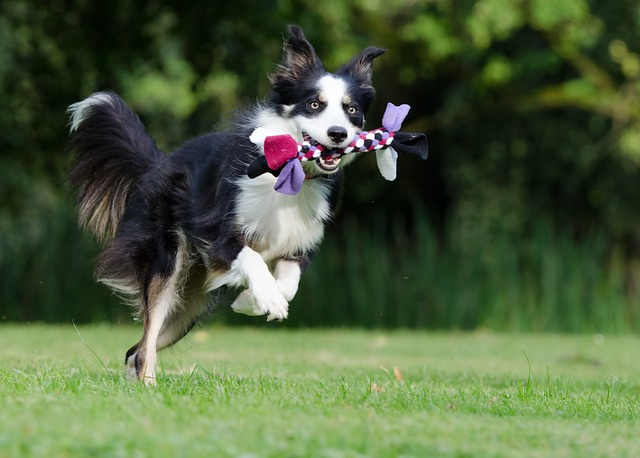 Best Dog Toys for Border Collies Photo