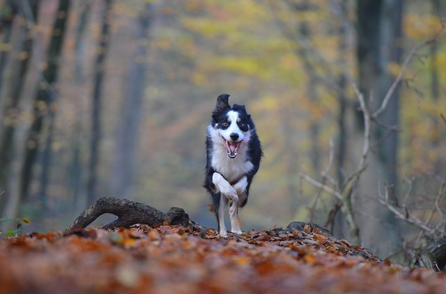 How Much Exercise Does a Border Collie Need Cover Photo