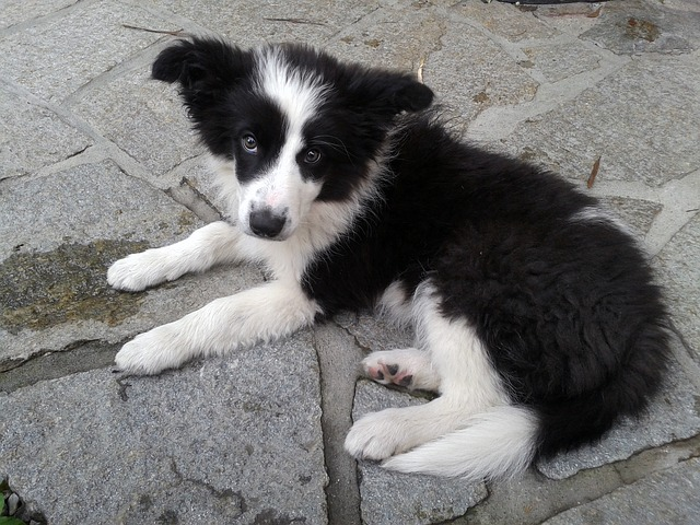 Adopted a Border Collie Now What Photo