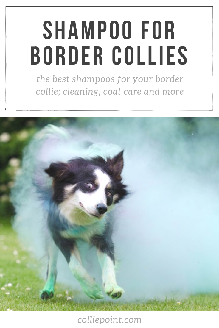 Best Shampoo for Border Collies Photo