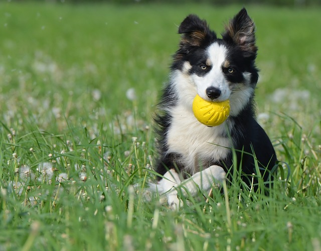 Border Collie With Ball Photo