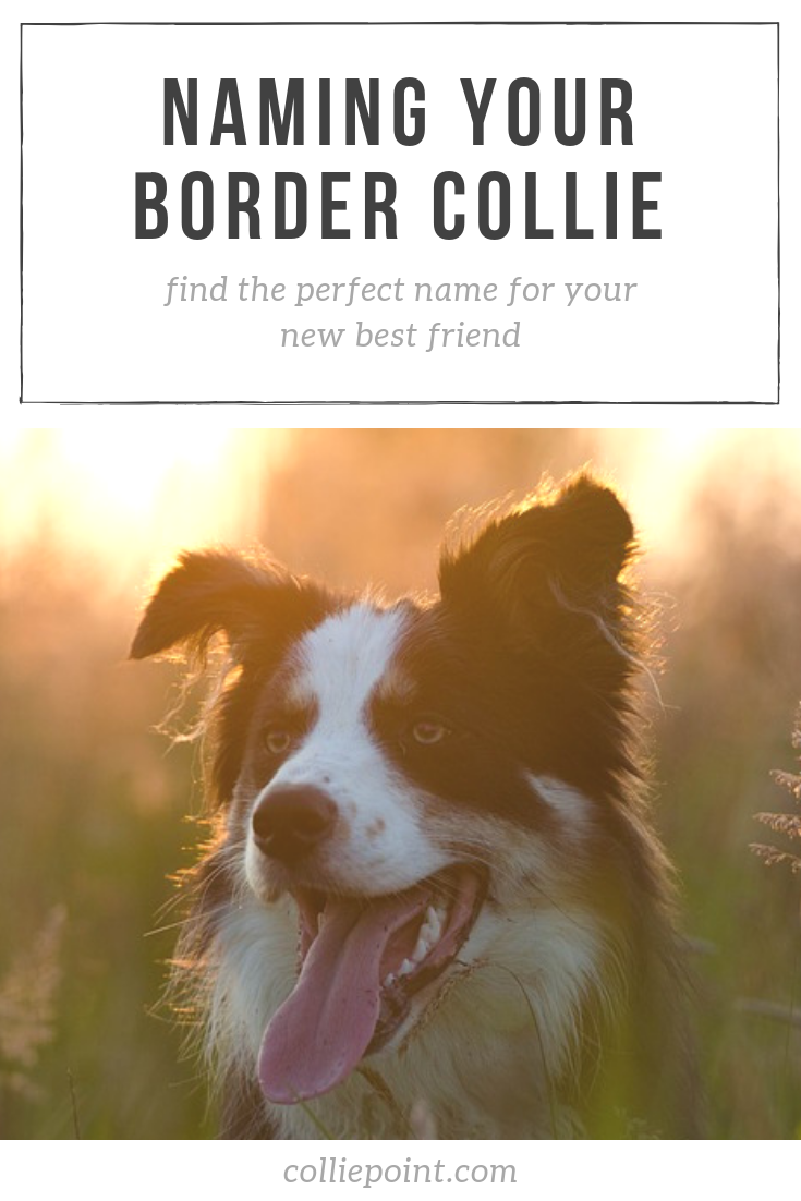 Border Collie Names