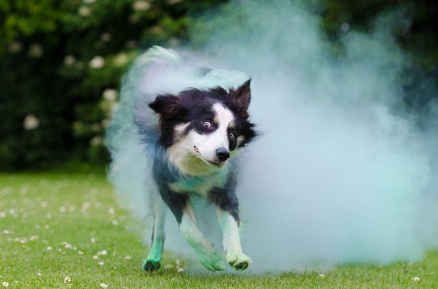 Border Collie Shampoo Photo