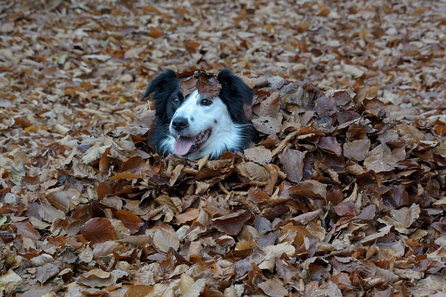 Border Collie in the Leaves