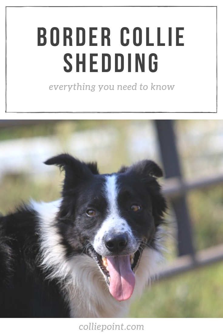 Border Collie Shedding Photo