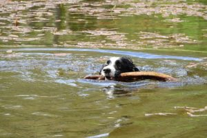 Border Collie Swimming Photo