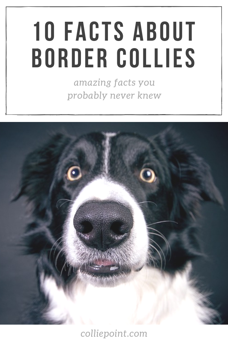 Facts About Border Collies Photo
