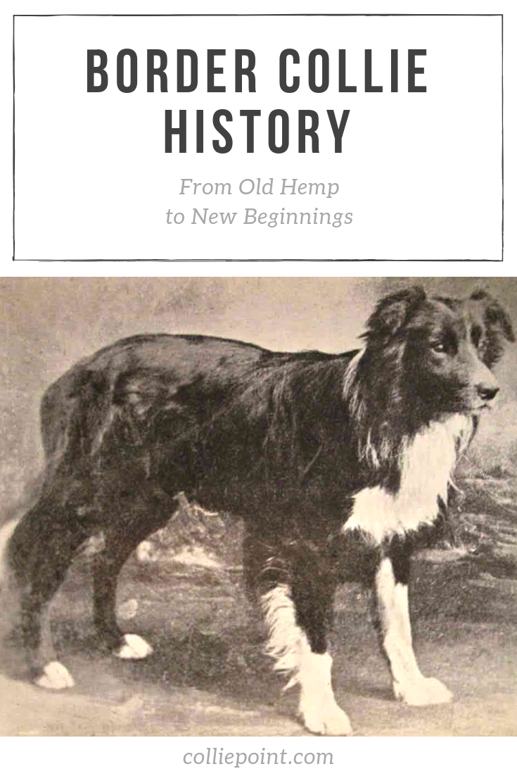 Border Collie History Pinterest Photo