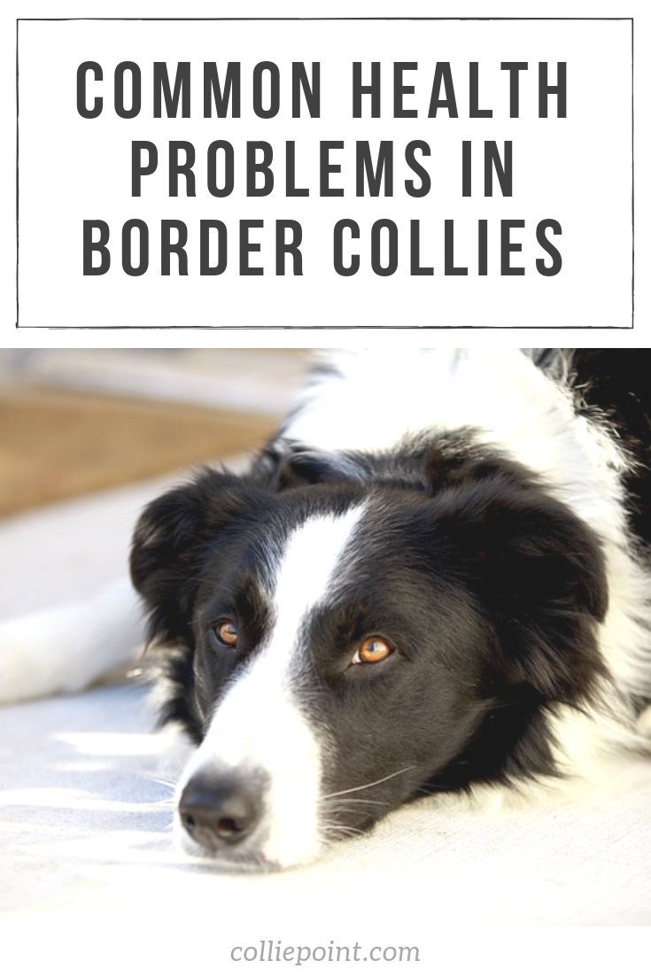 Common Health Problems in Border Collies Pinterest Photo