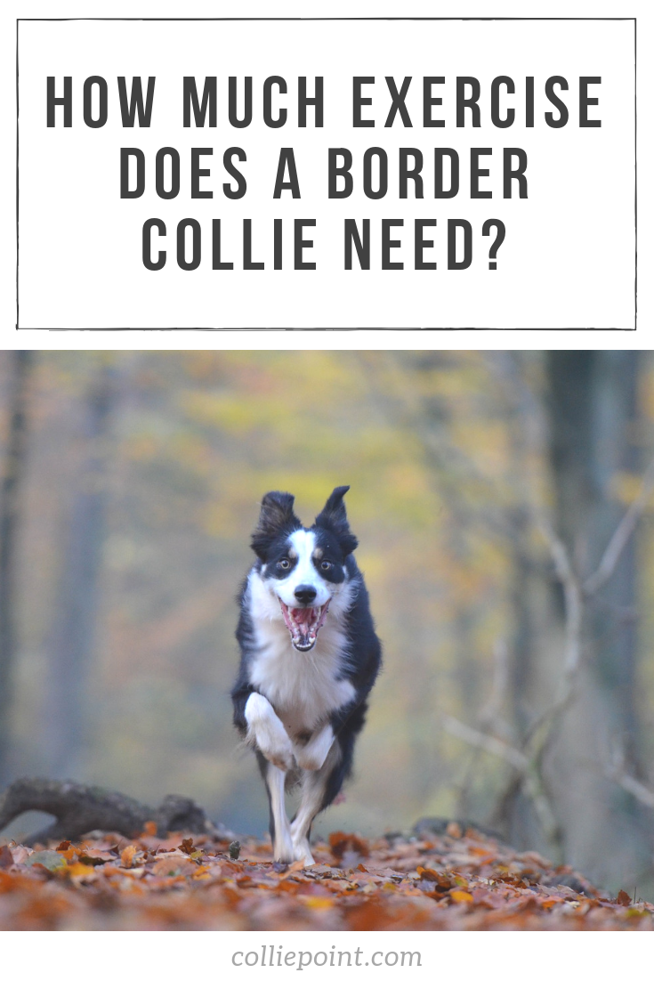 How Much Exercise Does a Border Collie Need Pinterest Photo