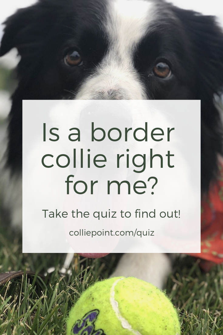 Is a Border Collie Right for Me? Take the Quiz to Find Out!