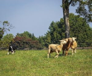 Border Collie Herding Photo