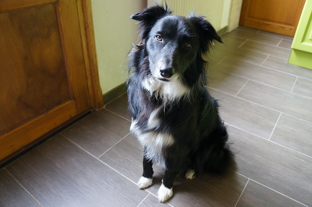 Border Collie in the Kitchen Photo