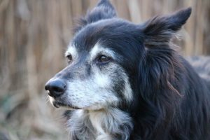 Common Health Problems in Border Collies - OCD Photo