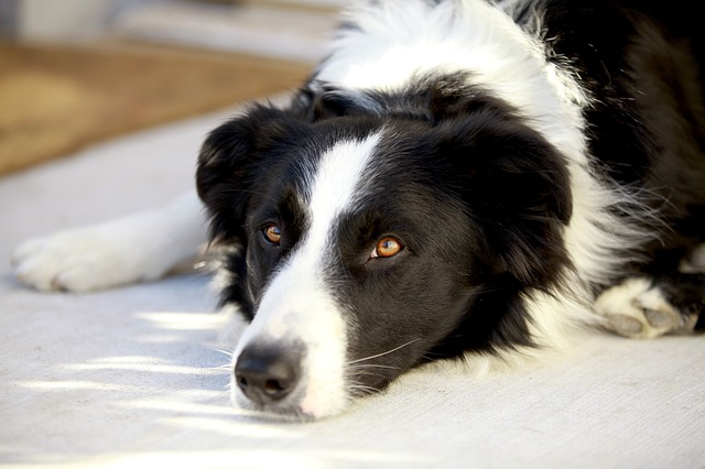 Common Health Problems in Border Collies Cover Photo