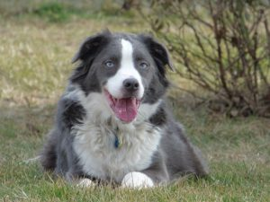 Obese Border Collie Photo